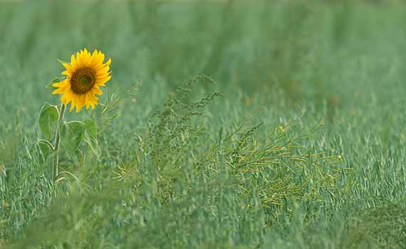 Image on the cover of the report of a sunflower that is beginning to bloom, signalling the start of new growth in a grassy field.